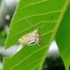 水と蛾の不思議な関係〜キオビミズメイガ