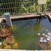 葉刈り後の楓と池のろ過装置、グリーンウォーター対策として池にシジミを入れた話