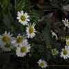 お香のかおりの龍脳菊 リュウノウギク chrysanthemum japonicum