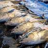 2021年3月5日 小浜漁港 お魚情報