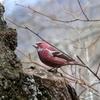 赤い鳥オオマシコ