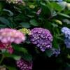 紫陽花の花の色はどうやって決まる?