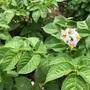 野菜づくり二年生 6 〜じゃがいもの花が咲いたよ!