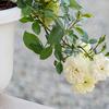 新たな庭の花