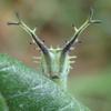 ゆるキャラ!猫顔!かわいい昆虫「アカボシゴマダラ(の幼虫)」