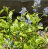 【斑入り葉と水色花!】セアノサス(カリフォルニアライラック)の新品種エルドラドの成長と開花~地植え&鉢植えで育成中
