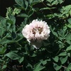ベランダ栽培と病害虫