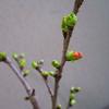 桜の鉢植え 咲くのが楽しみ‼️