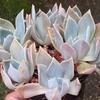 多肉植物、初恋の綴化(てっか)と、対馬爪蓮華(ツシマツメレンゲ)の成長です。