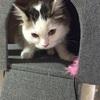 子猫 サイベリアン8か月 体重