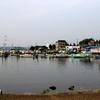 手賀沼公園を飛翔するユリカモメ