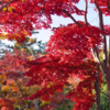 昭和記念公園の紅葉・黄葉(2020/11/17)