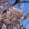 俺、桜に感謝する