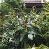 今年はボールにならずに咲いてくれそうクリムゾングローリー、ルージュピエールドロンサール