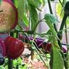 食べた種から育ったピーマンさんのピーマン収穫笑