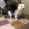 甲斐犬サン、建国記念の日を祝うの巻〜メデテェ───(´゚∀゚ノ)ノ───ナァ‼︎