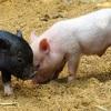 【鶴橋】衝撃の黒さ濃さNo.1癖になる黒い豚丼となめこわん【帯広豚丼シリーズ8】