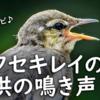 ハクセキレイ雛鳥の鳴き声【野鳥図鑑・鳴き声図鑑】