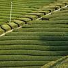 【迷ったらこれ】お茶を目で楽しむガラス急須。緑を見てリラックス。