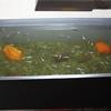 メダカの稚魚の餌はパウダー状の餌を与える理由