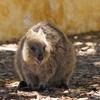 ANAでオーストラリアのパース旅行に行ってきました!⑥(ロットネスト島ークオッカの見つけ方)
