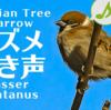 スズメの鳴き声【野鳥図鑑・鳴き声図鑑】Passer montanus Sparrow