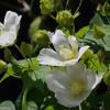 夏の空に真っ白な花