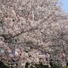 【埼玉お花見】北越谷のお花見スポットがおススメ!