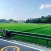 Midsummer of paddy     真夏の水田