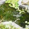 池のアナカリスとメダカ