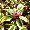 昨日は春一番吹いて、今日は晴天の天皇誕生日/沈丁花が咲き出した2月もあと1週の庭