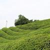 「日本海」で抹茶を収穫?d:matchaの自社茶園にて、抹茶収穫の様子をご紹介!