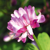 今日の誕生花「レンゲソウ」ピンクの絨毯が少なくなった花!