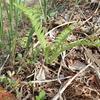 春の山菜 こごみの芽生えが可愛らしい