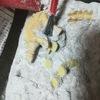 自宅で体験 化石発掘!ダイソーで購入した恐竜化石玩具に次男大喜び!