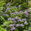 7月(July) 紫陽花の写真と花言葉---