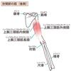 【基礎から学ぶ】肘伸展筋(上腕三頭筋・肘筋+手伸展筋群)【解剖生理学】