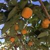 柿農家の倅が、柿にスポットライトを当てる。柿の種類、栄養、我が家の柿作り、天敵、救世主、そして柿の新たな可能性。