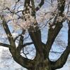 安富桜満開!