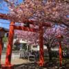 2019年 村富神社の八重桜 ほぼ満開 (4月18日)!