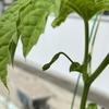 【北海道の家庭菜園】ぐんぐん成長中~成長記録2020年7月編🍅