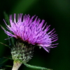 OLYMPUS OM−D E−M1 試写 花と昆虫(ノハラアザミにとまる蜂たち・)