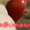 「文鳥と過ごす日々」りんごまるごと1個