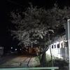 あぁ夜桜ひとりじめ