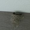 巣作りから15日目(2軒目)。卵2つ目!ツバメと鳥インフルエンザについて。