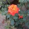 バラに込められた暗号を解読しながら宇陀から連れてきたバラの花に縄文の女神を思う。