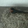 巣作り12日目(2軒目)。ツバメは一夫一妻制?