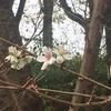 十月桜(*^^*)