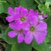 花咲く日がまた遠ざかった日本-41;短期集中が2か月間に