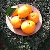 ミカン収穫、息子からの洋梨